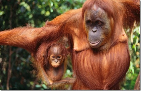 Sumatra, Indonesia --- Orangutan and Baby --- Image by © Royalty-Free/Corbis